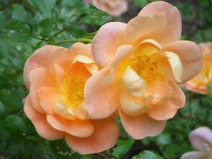 Roses from Ava's Garden