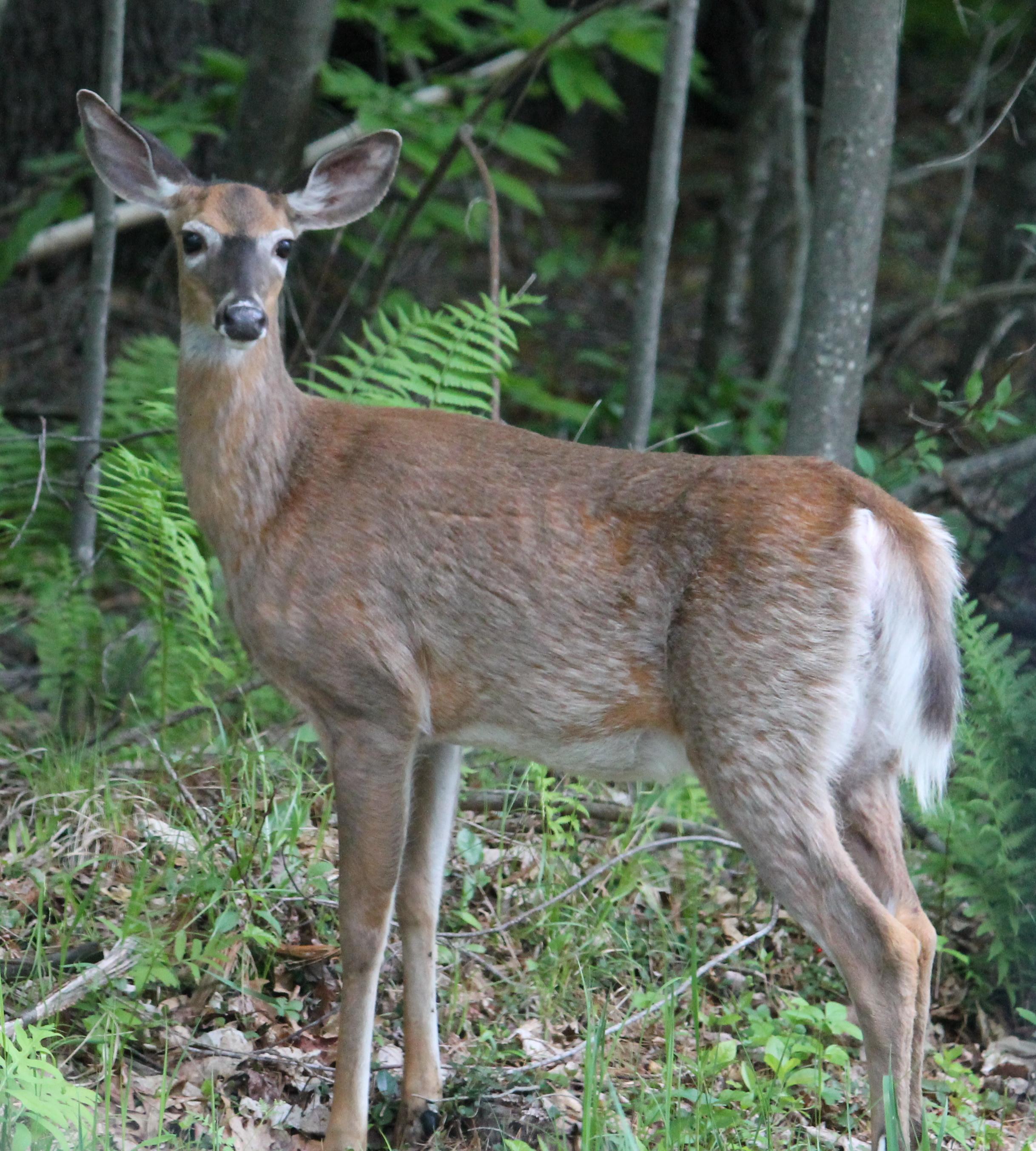 The grace of deer not tomatoes deer buycottarizona Images