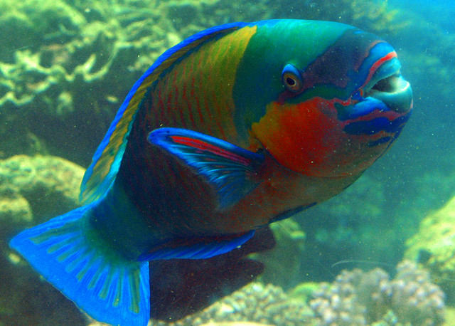 parrot fish Full answer the parrotfish gets its name from its mouth, which is made of fused teeth and looks similar to a parrot's beak they use the beak to tear off chunks of.