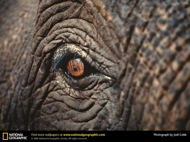 asian-elephant-eye