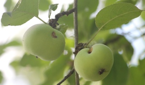 Summer's green fruit ripens in abundance