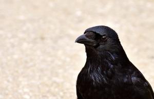 crow-2305522_640