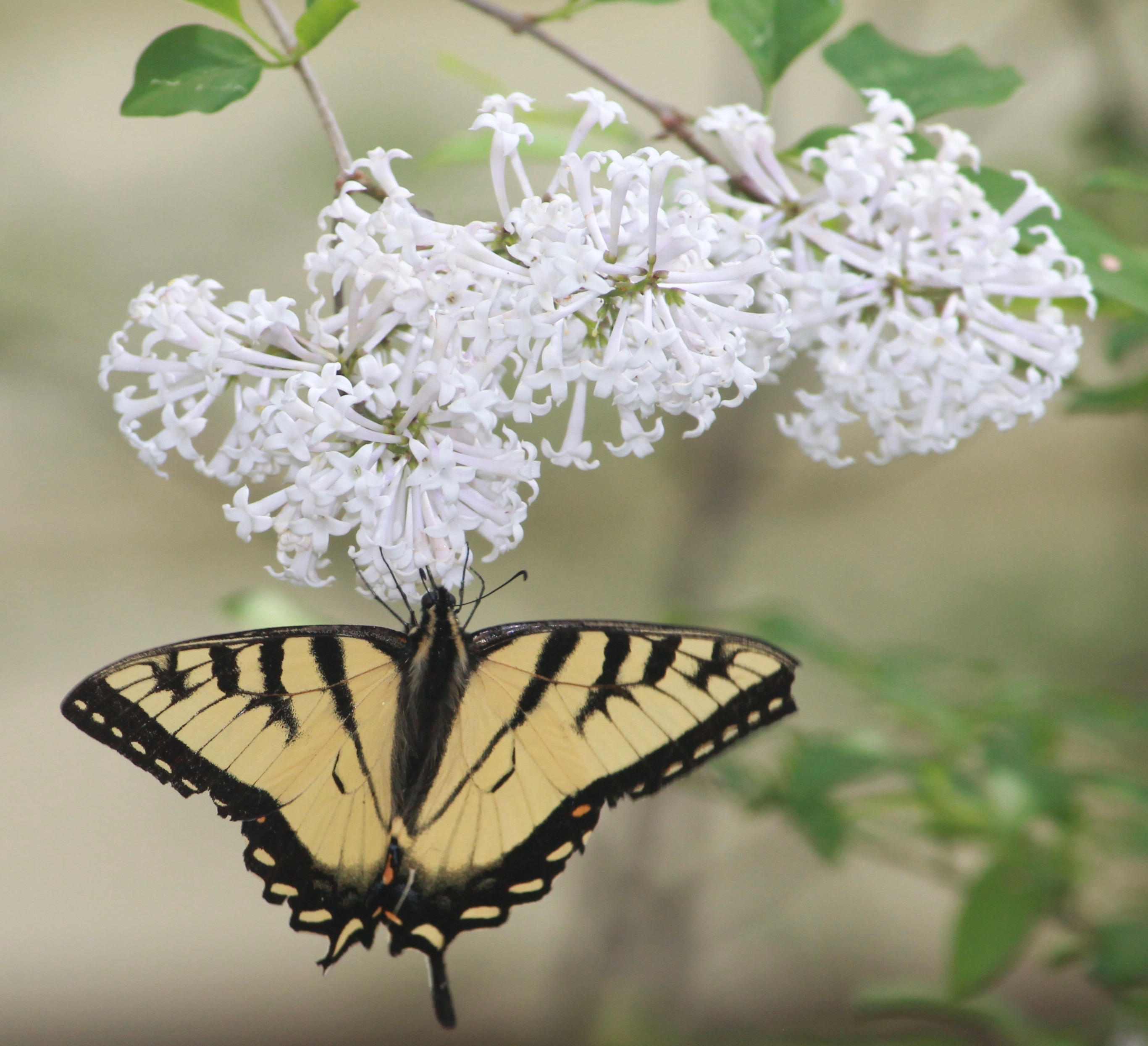swallowtail butterfly on white lilac