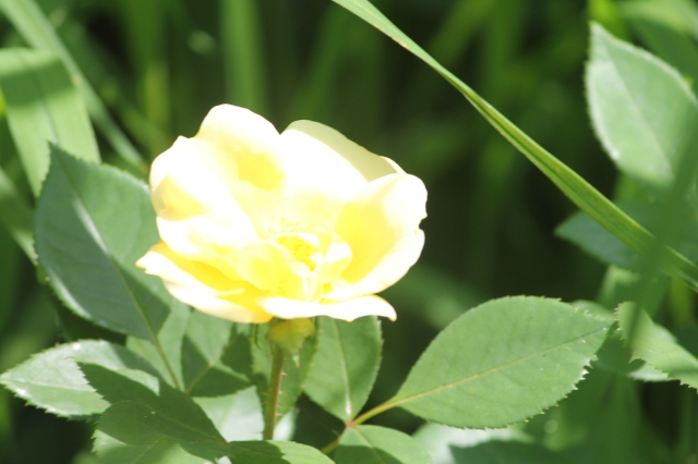 Yellow rose in garden