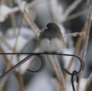 Junco on plant hanger