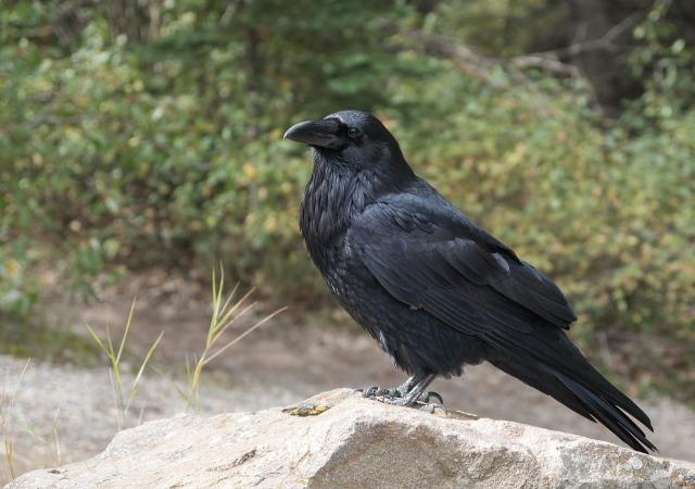 raven-2162966_1280