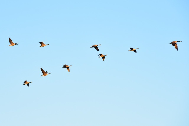 geese-1701827_1280