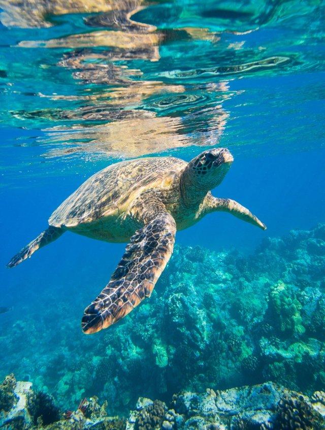 sea-turtle-2547084_1920