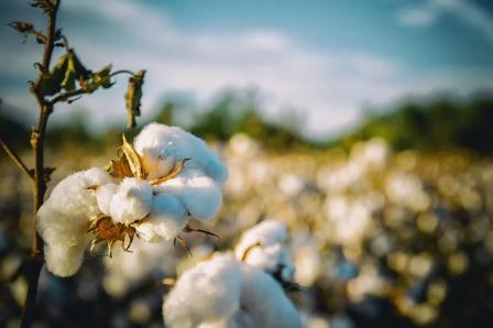 cotton-2807360_640